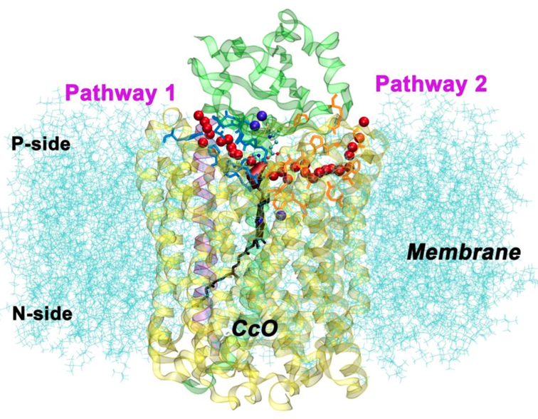 Cytochrome c 	      oxidase embedded in membrane with water exit pathways